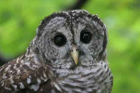 Barred Owl Close Up Face,Virginia, USA photo