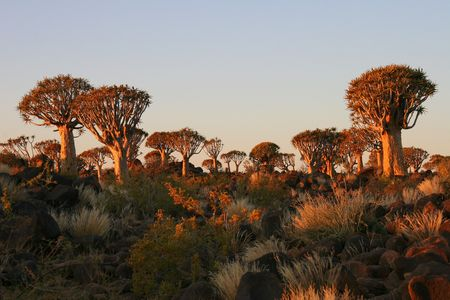 dichotoma: Desert landscape at sunset with a quiver tree (Aloe dichotoma), Namibia