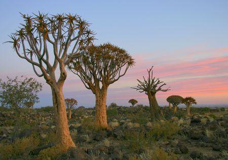quiver: Woestijnlandschap bij zonsondergang met een quiver boom (Aloe dichotoma), Namibië Stockfoto