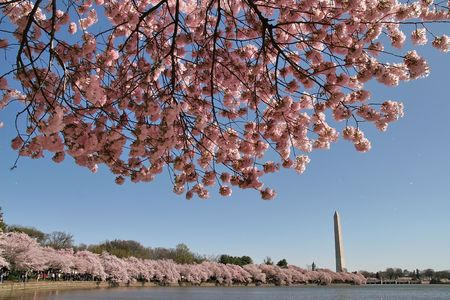 Cherry Blossom, Sakura, Spring, Washington DC Banco de Imagens