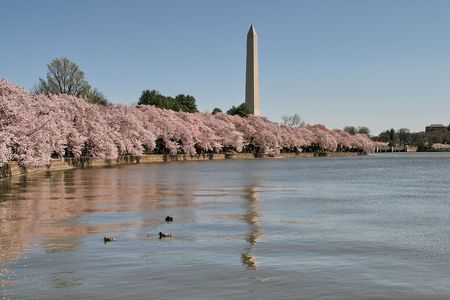 washington landscape: Cherry Blossom, Sakura, Spring, Washington DC Stock Photo