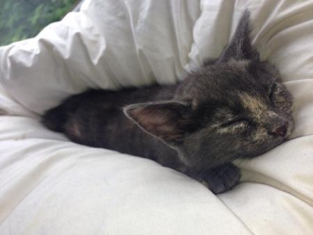 7 week young mini bobcat kitten