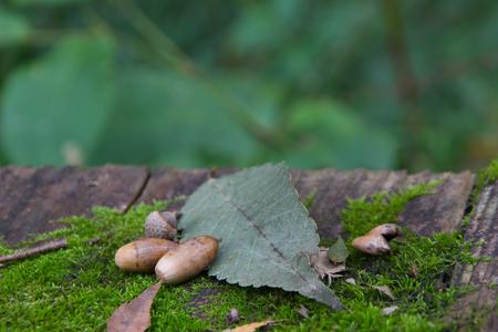 acorns: Acorns, leaves and MOSS
