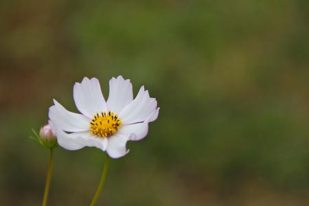 ホワイト コスモス