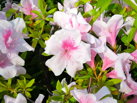 full bloom: Azaleas in full bloom