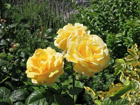 yellow roses: Gaviotas en Bang Poo Tailandia.