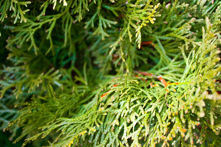 Green fresh fir branches