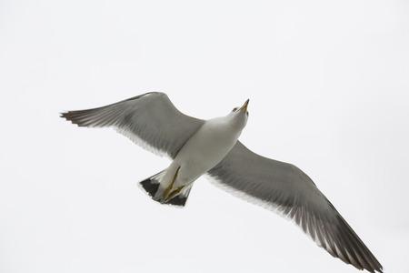 the seagulls: seagulls flying Stock Photo