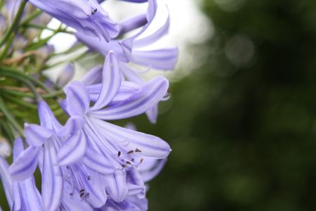 Purple Blue Flower photo