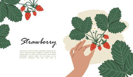 Bush with strawberries. Mans hand picking berries. Harvest Vector Illustration Illustration