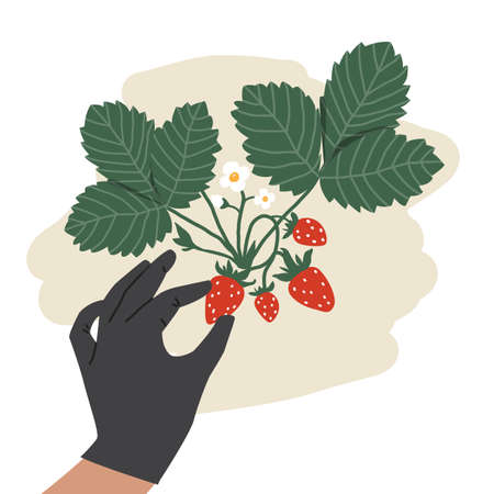 Bush with strawberries. Mans hand picking berries