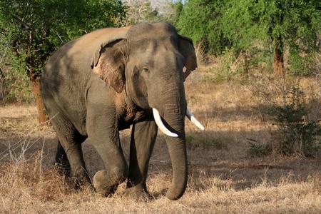 tusks: Elephant with tusks Stock Photo