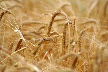 barley seeds: Barley field background Stock Photo