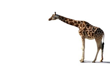 somali giraffe: Standing giraffe isolated on white background