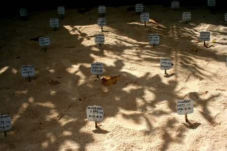 hatchery: Tags with brand and date of the turtle eggs in the sand. Taken at Sri Lanka