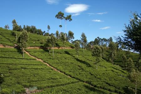 hillock: Tea plantation hillock with beautiful blue sky and little clouds. Haputale, Sri Lanka