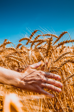 cereals holding hands: Close up picture on hand with wheat on sunny day outdoors background Stock Photo