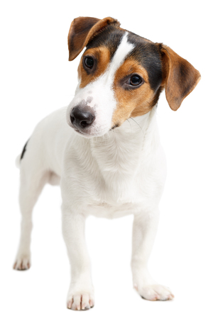 7 months: Jack Russell Terrier puppy, 7 months old, standing in front of white background Stock Photo