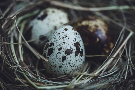 quail nest: Quail eggs in the nest, close-up shot Stock Photo