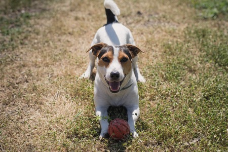 playfulness: a small breed dog Jack Russell Terrier plays with a bright ball on the grass