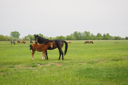 draft: a horse with a foal grazing in a meadow in summer day Stock Photo