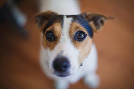 soltería: pequeña razas de perros Jack Russell Terrier parece interesado en la cámara Foto de archivo