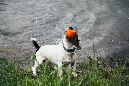small dog breeds Jack Russell Terrier with colourful ball in his mouth shakes off water after bathing in the river