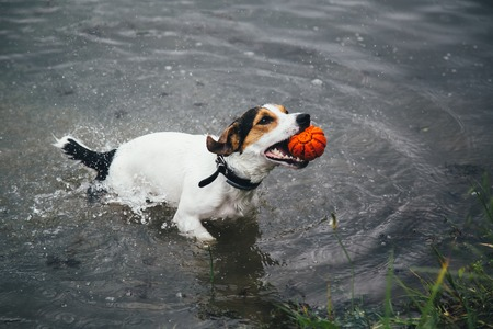 a small breed dog Jack Russell Terrier plays with a bright ball in the river