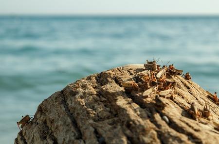 plague: Plague of locusts on the black sea coast Stock Photo