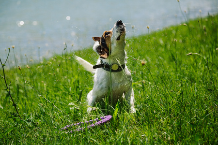 small dog breed Jack Russell Terrier shakes off water after bathing in the river on a summer day Stock Photo