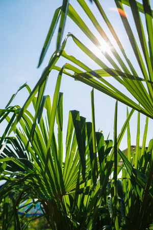 low perspective: Low perspective of bright green leaves of plant in sunlight against of blue sky