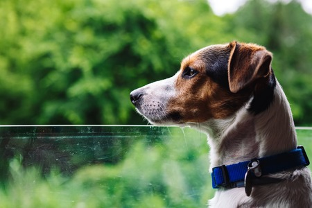 Small dog breed Jack Russell Terrier looks out the open window of the bus. Closeup Stock Photo
