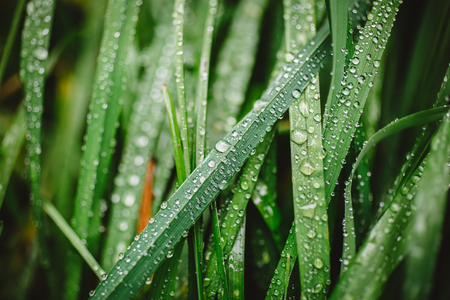 Close up of fresh thick grass with dew drops in the early morning Stock Photo