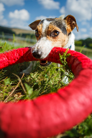 Charming Jack Russel Terrier chewing rubber toy ring while playing on green meadow in sunlight. Stock Photo
