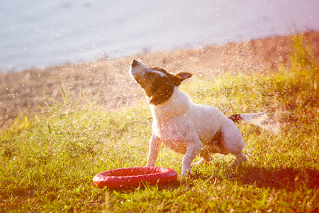 Adorable Jack Russell Terrier in blue collar standing and shaking from water drops.