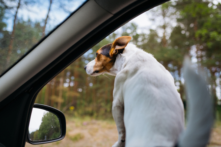 Small dog breed Jack Russell Terrier looks out of the car window. Auto travel on a Sunny summer day. Rear view.