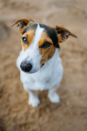 Small dog breed Jack Russell Terrier sits on sandy beach and requests something. The view from the top. Stok Fotoğraf