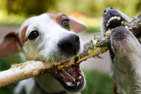 Two jack russells fight over stick on the grass in the park Stock Photo - 107726491