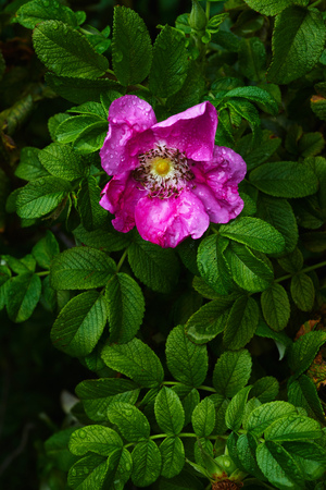 Pretty bright flower growing on wet shrub with small green leaves in garden Stok Fotoğraf