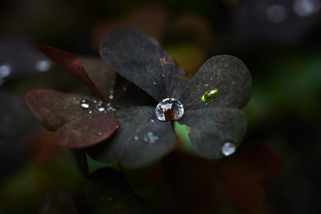 Closeup shot of drops of clean water on green grass blades and delicate clover in garden