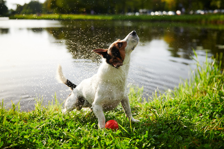 Adorable purebred dog standing on grass and shaking off water from fur after swimming in lake on sunny day