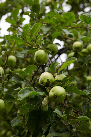 Green apples on branch ready to be harvested Stok Fotoğraf