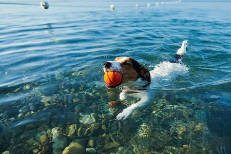 Dog swimming in sea holding ball in mouth Stock Photo