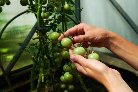 Crop shot of woman looking at green tomatoes from plant in greenhouse