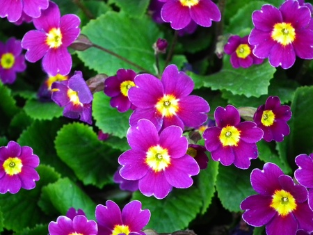 purple flowers primula photo