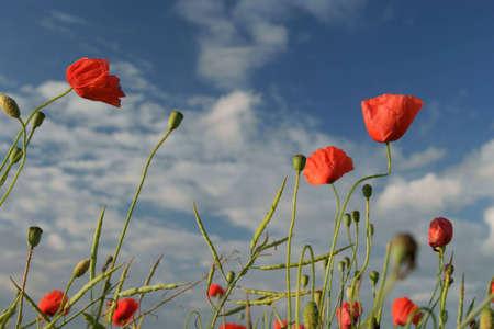 blossom poppy red - blue sky.  photo