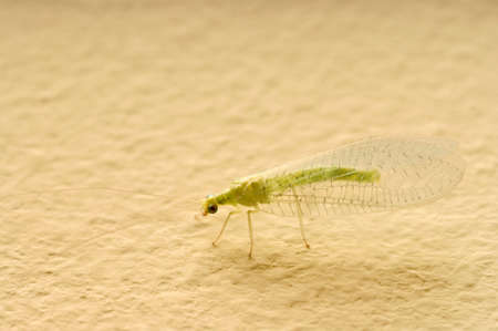 chrysopidae: insect Green Lacewing (Chrysoperla carnea)