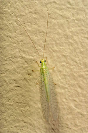 chrysoperla: insect Green Lacewing (Chrysoperla carnea)