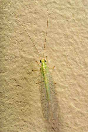 chrysope: insecte vert Lacewing (Chrysoperla brandegeana)
