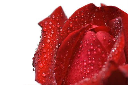 Red rose and water drops -  macro, closeup